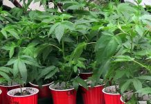 Marijuana plants at Vancouver 420; Photo by the Pacific Post/ File photo